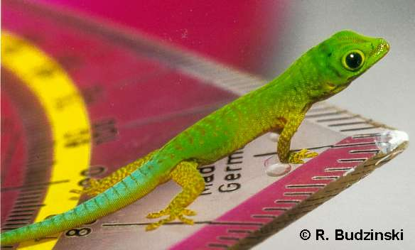 Schlüpflinge von Phelsuma astriata astriata gleichen in der Färbung den Adulti