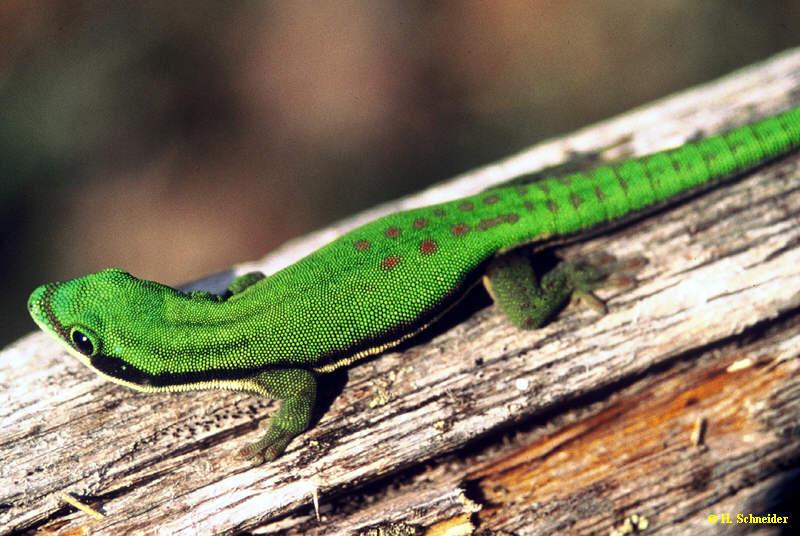 P.nigristriata lässt sich aufgrund der deutlichen Farbdifferenz ausgezeichnet mit P.klemmeri vergesellschaften