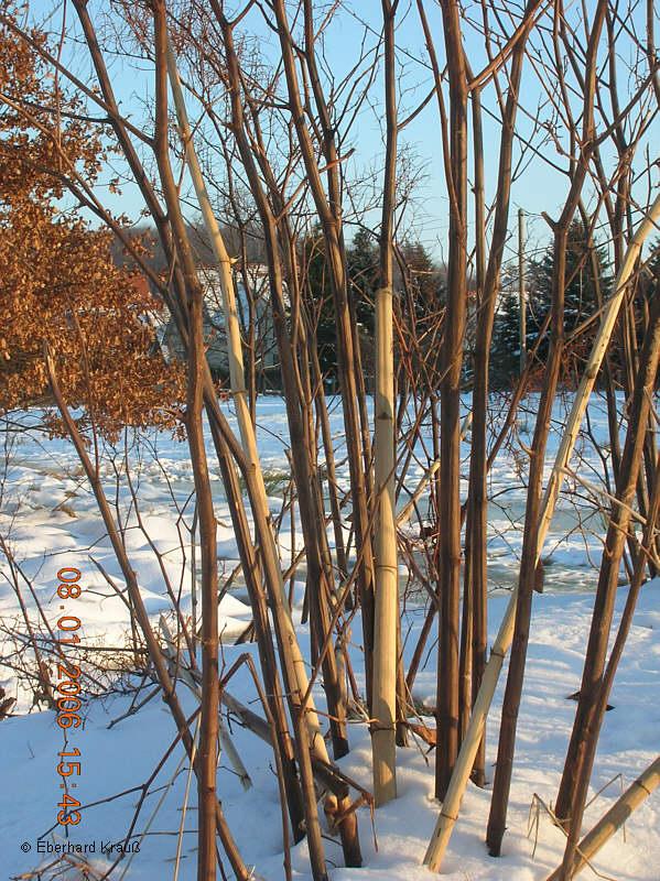 Japan-Knöterich, wie man ihn im Winter vorfindet