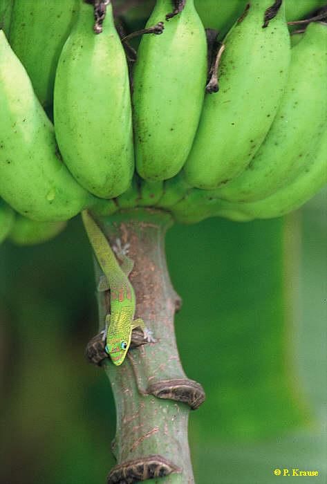 P.l.laticauda