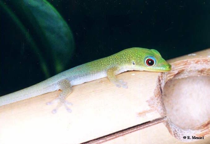 juvenile P.l.laticauda