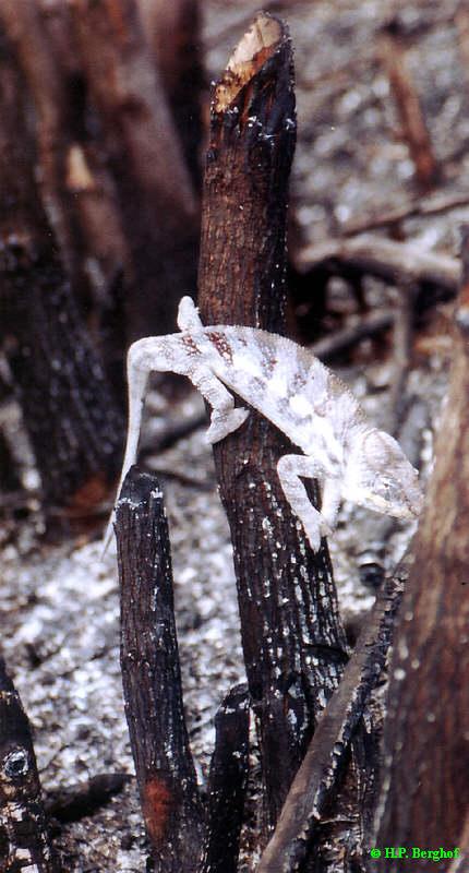 Furcifer pardalis im verbrannten LebensraumFurcifer pardalis im verbrannten Lebensraum