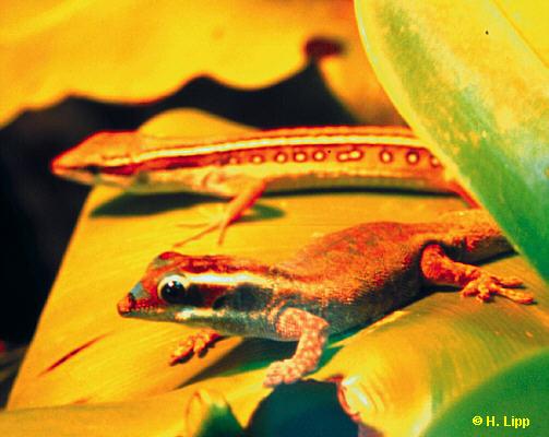 P.ornata und T.sexlineatus