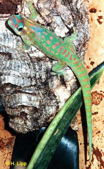 Phelsuma ornata, Männchen