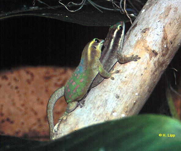 P.ornata bei der Paarung