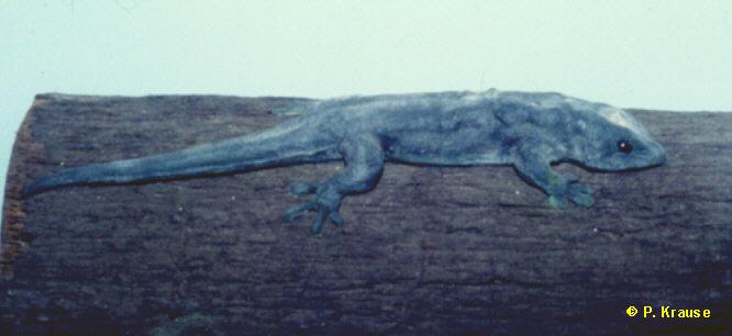 Präparat von P.edwardnewtoni im Naturkundemuseum von Port Louis