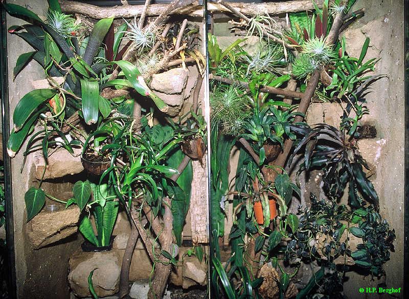 Phelsuma guttata - Terrarien
