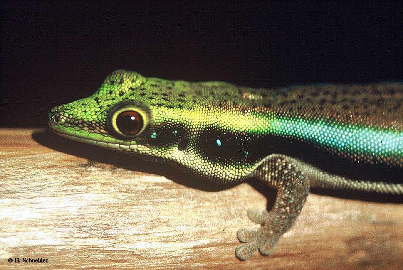 P.klemmeri bewohnt einen kleinen Lebensraum im Nordwesten Madagaskars, der aus Artenschutzgründen nicht genannt wird