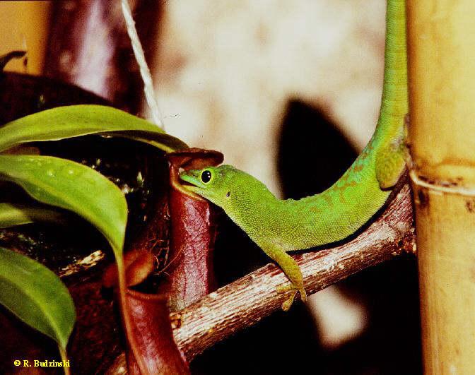 Phelsuma astriata an Nepenthes alata