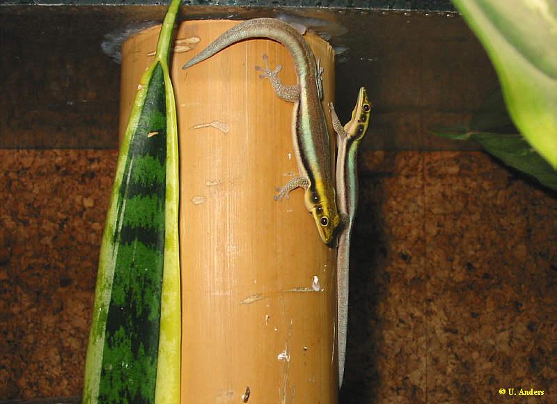 2 Weibchen von P. klemmeri