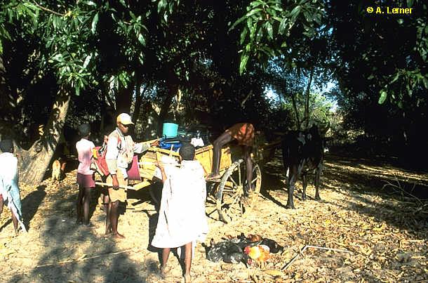 Aufbruch in Beronono mit dem Ochsenkarren