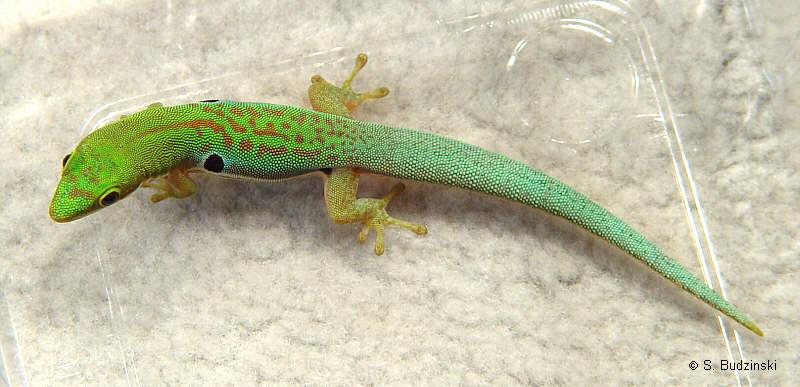 P. quadriocellata cf. parva Nachzuchttier